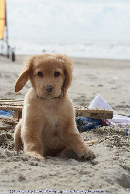 dog,mammal,vertebrate,dog breed,golden retriever,