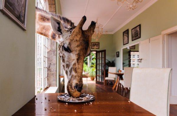 room, giraffe, giraffidae, home, tourist attraction,
