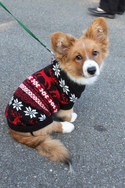 dog, dog breed, dog like mammal, dog breed group, dog clothes,