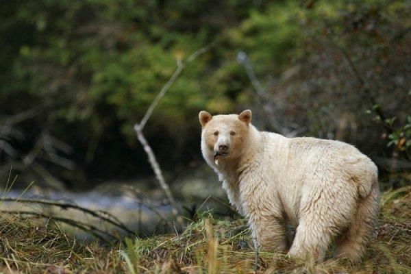 Great Bear Rainforest, Canada