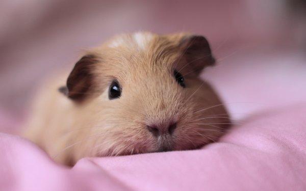 guinea pig,mammal,vertebrate,whiskers,rodent,