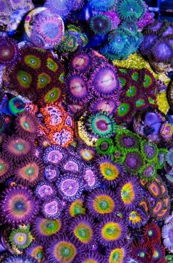 Zoanthus Corals