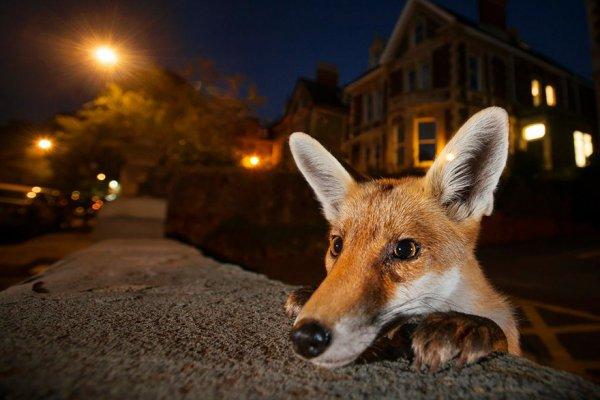 mammal, vertebrate, wildlife, dog like mammal, fox,