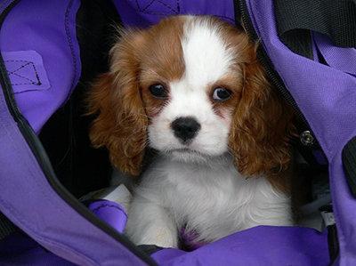 Cute Cavalier...