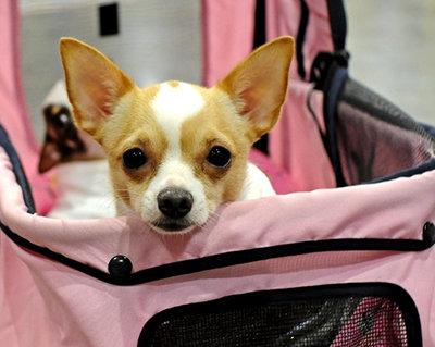 Cute Chihuahua...