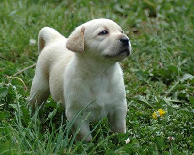 Sweet Lab Puppy...