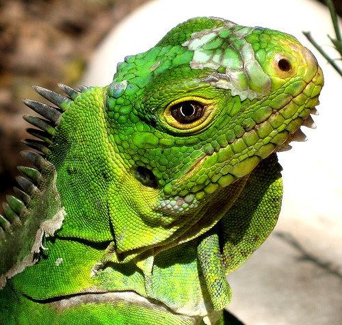 Iguanas Are Prone to Certain Diseases