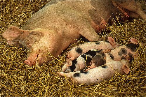 Speaking of Pigs…