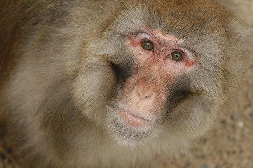 Male Rhesus Monkeys Are Gifted