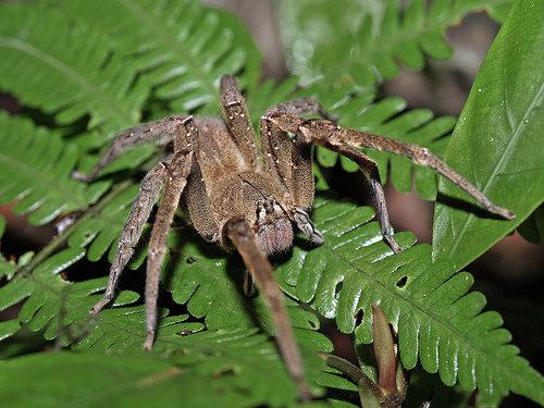 6 Brazilian Wandering Spider