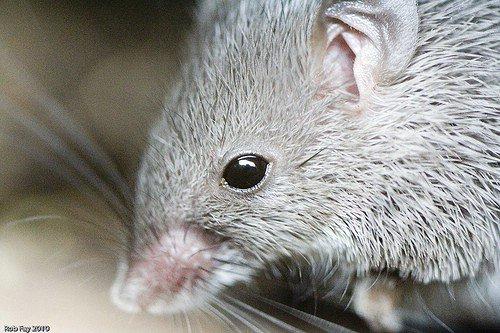 Spiny Mouse