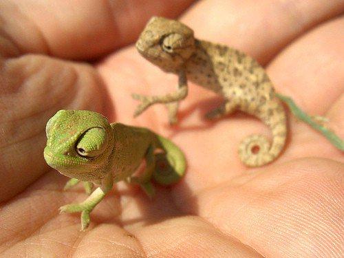 Question: How Big do Iguanas Get?