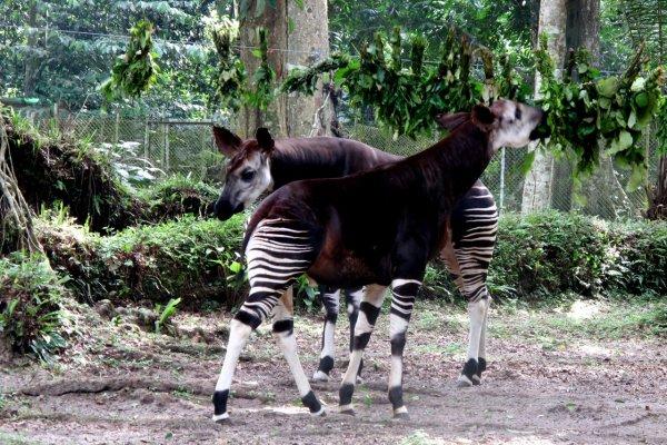 Okapi Wildlife Reserve, Democratic Republic of the Congo