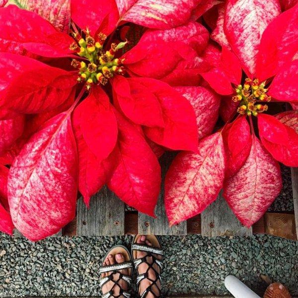 flower, red, plant, land plant, petal,