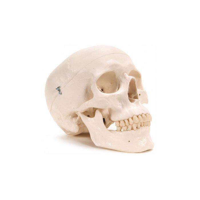 3B Scientific Plastic Human Skull Model