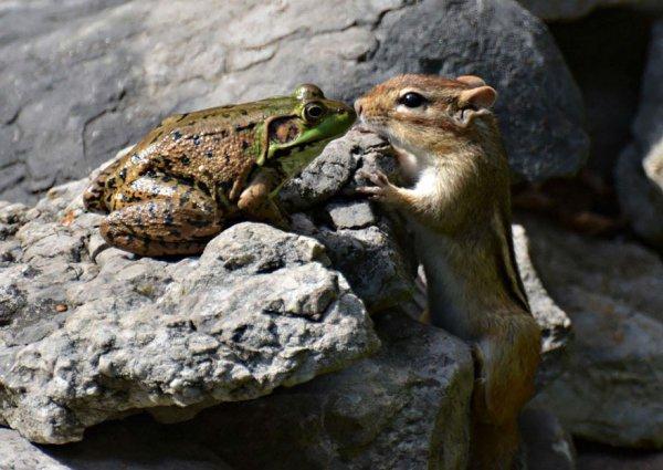 squirrel, chipmunk, mammal, vertebrate, wildlife,