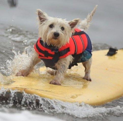 Dog Surfing Coach