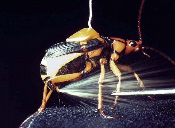 The Bombardier Beetle