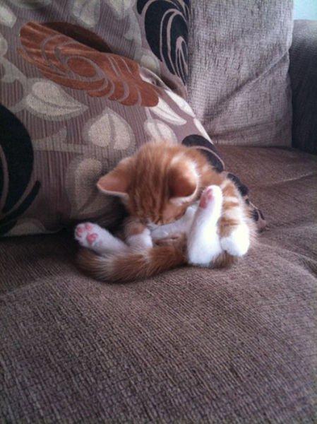 cat,mammal,vertebrate,kitten,small to medium sized cats,