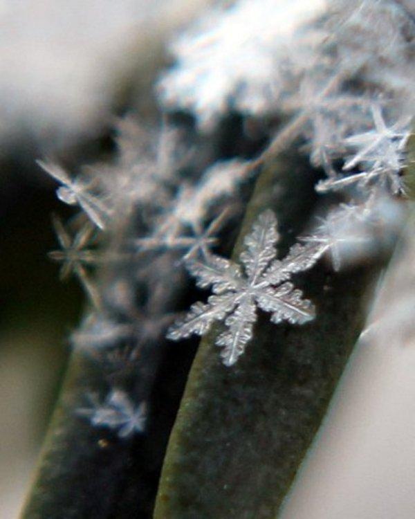 A Snowflake on a Yew Leaf