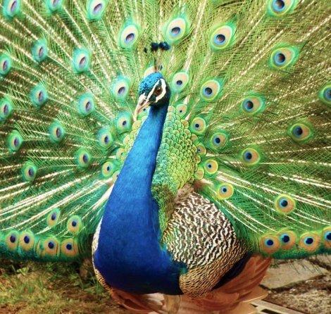 peafowl, galliformes, feather, bird, beak,